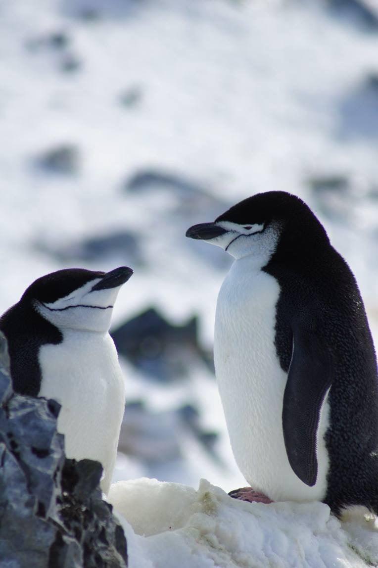 Rose_Antarctica_03